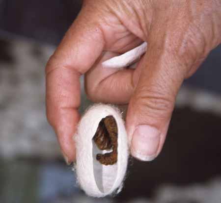 دودة القز ومراحل غزل الحرير وتجميعه (صانعة الحرير)3 Silk-worms