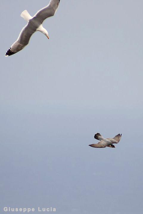 Falconiformes. sub Falconidae - sub fam Falconinae - gênero Falco - Página 2 Mobbing
