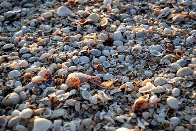 4 شواطئ صدفية مذهلة حول العالم Sanibel-shell-1%5B2%5D