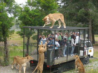 عجآئب و غرآئب الصصور النآدره !@ 800px-Orana_Wildlife_Park_feeding_lions-e1339234733244