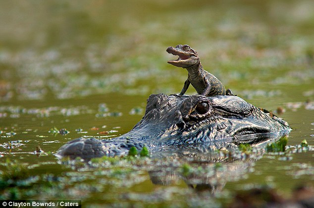 20 alligators volés dans un zoo australien Giving%2Bbaby%2Bthe%2Bheads%2Bup%2BLittle%2Balligator%2Bgrins%2Bfrom%2Bear-to-ear%2Bas%2Bhe%2Bgets%2Ba%2Bride%2Bdown%2Bthe%2Briver%2Bon%2Bhis%2Bmother%2527s%2Bhead%2B%2B1