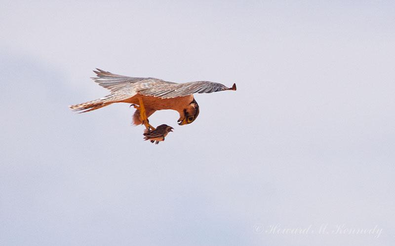 Falconiformes. sub Falconidae - sub fam Falconinae - gênero Falco Hmk-550-43147