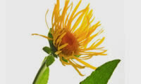 15 Plants and Herbs That Can Boost Lung Health, Heal Respiratory Infections And Even Repair Pulmonary Damage Elecamp-8