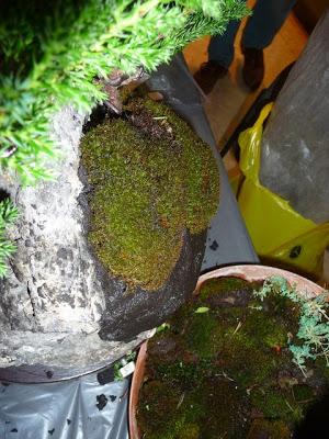 Bonsai sobre roca P1070353