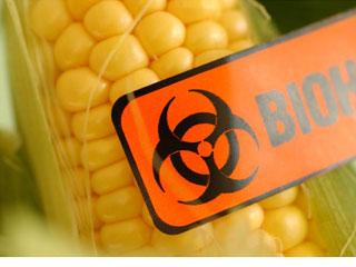 Poland Announces Complete Ban on Monsanto's Genetically Modified Maize (Corn)  Biohazardcorn