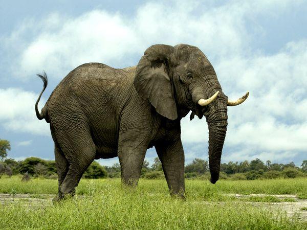أي الحيوانات البرية كان الأضخم على مر الزمن؟!..  African-elephant_435_600x450