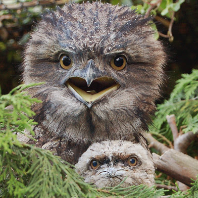 Things you wanted to say...... - Page 6 Frogmouth-and-chick-2944