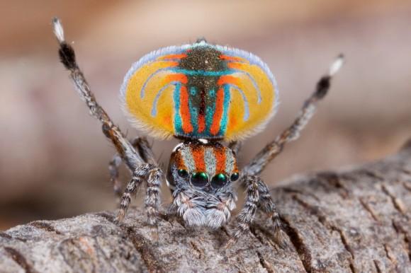 اجمل عنكبوت فى العالم Image011-580x386