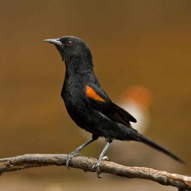 Pássaro inhapim, encontro ou pega do sertão  P%C3%AAga