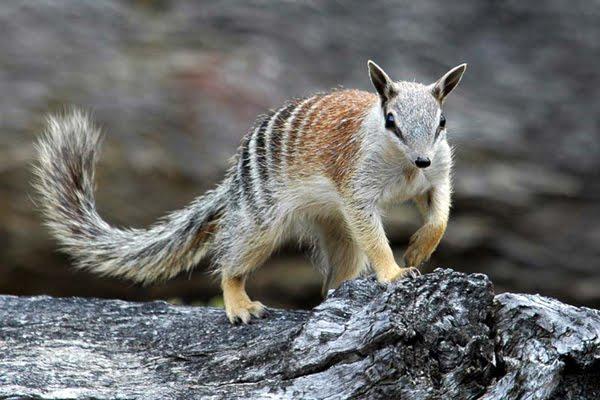 un animal à découvrir , blucat (5août)trouvé par ajonc - Page 2 Numbat-Animal-Pic