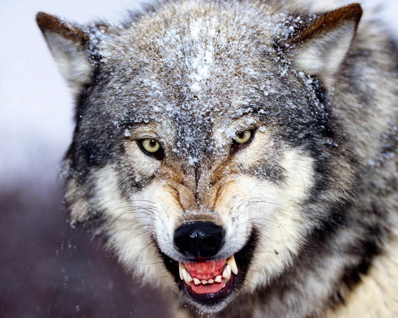 دئب..افعى..نخلة..وردة...قمة و روعة التشبيه  Wolf-wallpaper-4