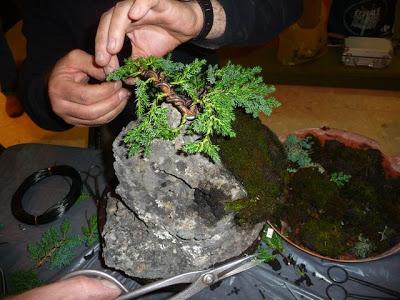 Bonsai sobre roca P1070390