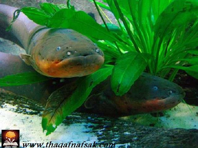 أغرب المخلوقات في غابات الأمازون المطيرة Electric-eel-1