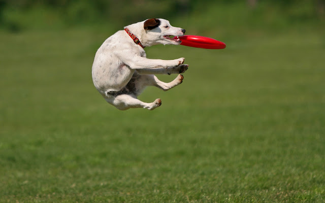 Fotografia , che passione ... - Pagina 17 Dog-playing-and-catching-a-frisbee-hd-animal-wallpaper-dogs