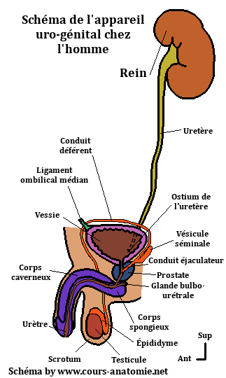 anatomie de l'uretère Sche%CC%81ma%2Bappareil%2Buro-genital%2Bmasculin