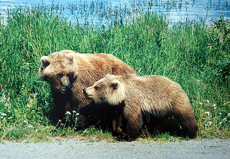 அட அப்படியா...?-படங்களுடன் Grizzly-bear-pictures_3