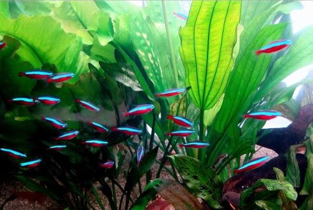 NEON CARDINAL Aquamundi-neon-cardinal-05