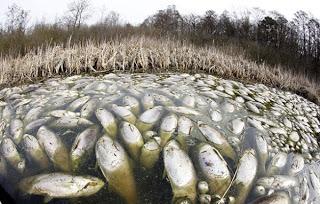 Tonnellate di pesci morti galleggiano in un lago tedesco, un enigma per gli esperti  Carpa-plateada-muerta-002