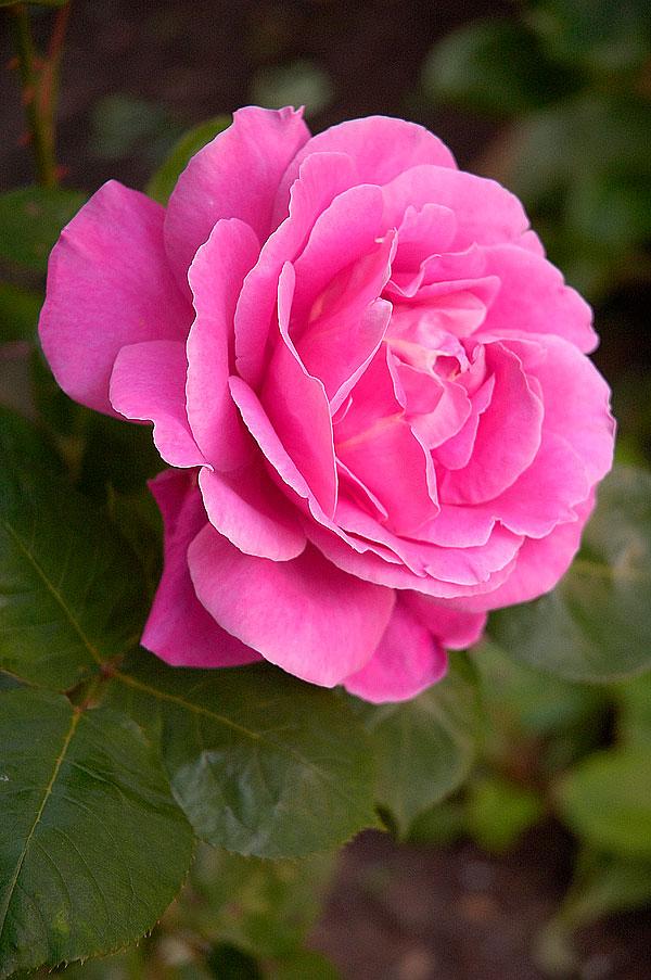 பட்டு வண்ண ரோஜாவாம், பார்த்த கண்ணு மூடாதாம்..! (புகைப்படங்கள்) Pink-rose