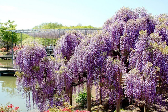 حديقة زهرة الحب في اليابان 4
