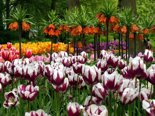 أزهار التيوليب: عالم من الجمال والأناقة Tulip-wallpaper