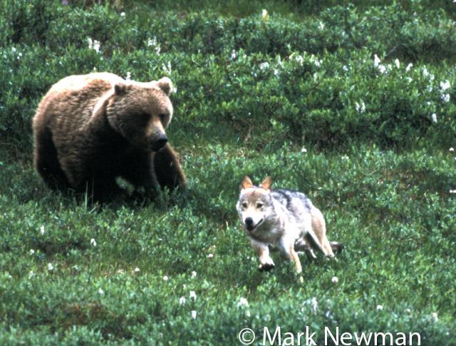 Urso pardo vs Urso polar - Página 2 MNewman323