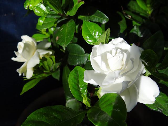 Gardenia rustiques DSC07254
