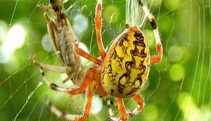 غرائب الحيوانات ... انثى العنكبوت ترفض التزاوج بدون شبكة !!!!!!!!! Spider