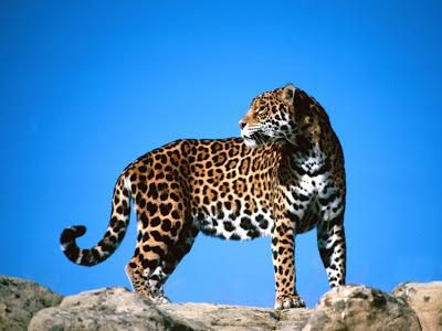 Lo bello de lo salvaje Jaguar-Wallpapers