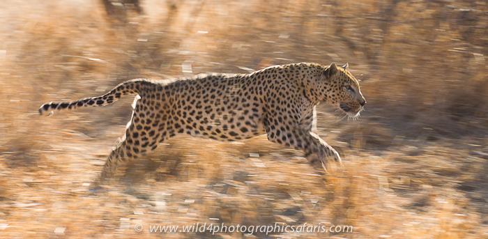 Jaguar venezuelano VS Leopardo macho monstro - Página 5 _D3E3201