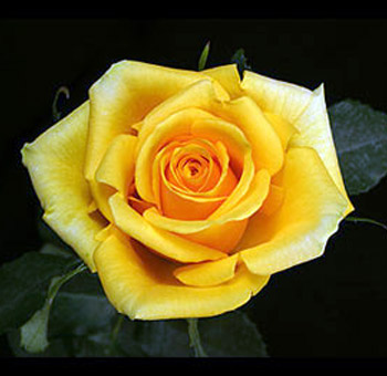 பட்டு வண்ண ரோஜாவாம், பார்த்த கண்ணு மூடாதாம்..! (புகைப்படங்கள்) Yellow-rose-gold-strike