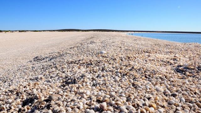4 شواطئ صدفية مذهلة حول العالم Shell-beach-australia-1%5B6%5D