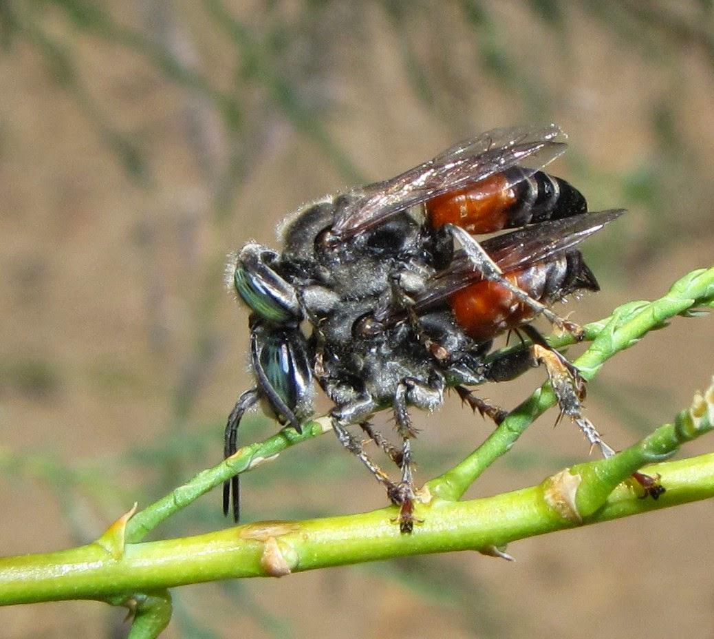 Bộ sưu tập côn trùng 2 TachytesMatingCO1c