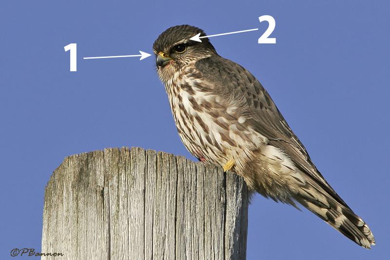 un oiseau - blucat - 19 août trouvé par ajonc Emerillon_bannon_web