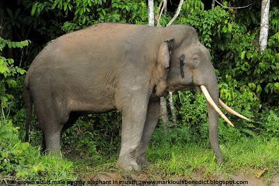 Elefante de Bornéu VS Potol _MLB3997