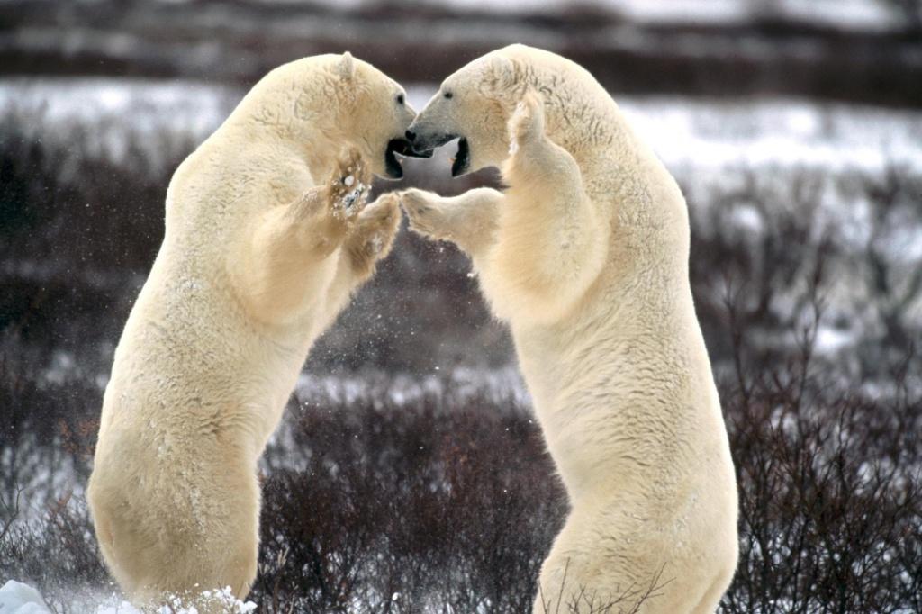 Urso Polar (Ursus maritimus) Urso_polar