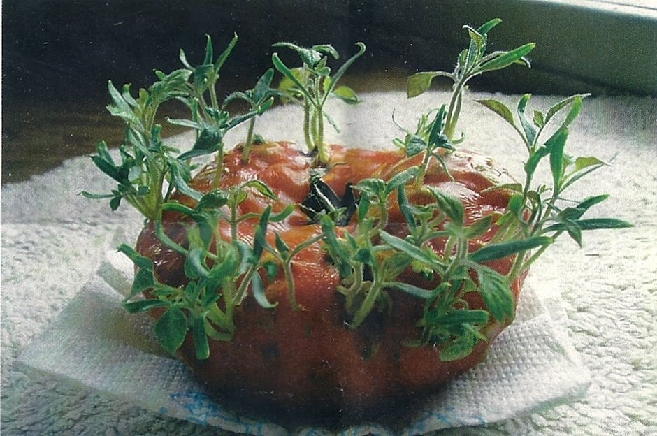 What's wrong with this tomato?? Tomatoes2