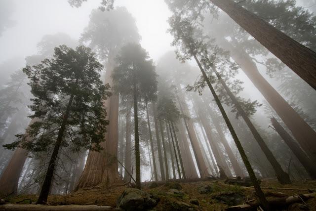 مخلوقات تعيش لأكثر من 3000عام Sequoia_2530718804_04cb6ef552_b