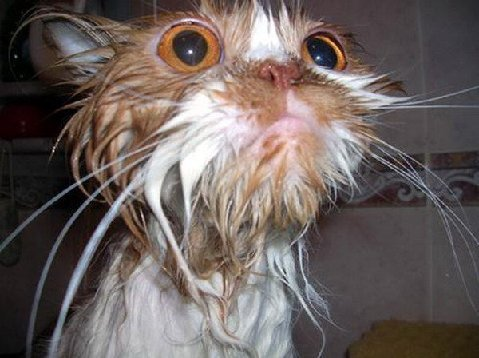 Razze Feline: una più bella dell'altra Best-pictures-of-wet-cats10