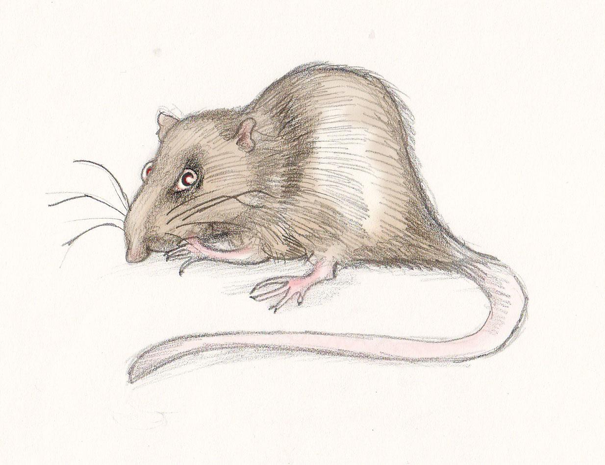 Een fictief verhaal over een rat - door Rider on the Storm Rat1a