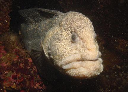 كائنات بحرية عجيبة Jegulja%20Vuk%20-%20Wolf%20Eel%20%28Anarrhichthys%20ocellatus%29%20Morske%20Vrste