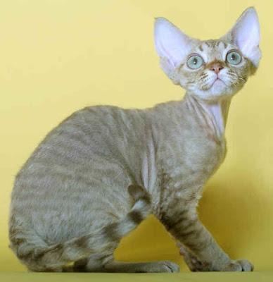Razze Feline: una più bella dell'altra Devonrex