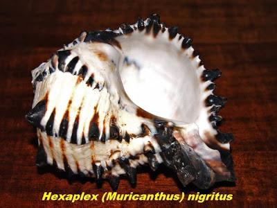 அழகான கடல் சங்குகள் - புகைபடங்கள்  Sea-shells-14