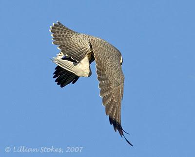 Falconiformes. sub Falconidae - sub fam Falconinae - gênero Falco - Página 2 P3