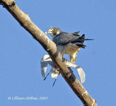 Falconiformes. sub Falconidae - sub fam Falconinae - gênero Falco - Página 2 P2
