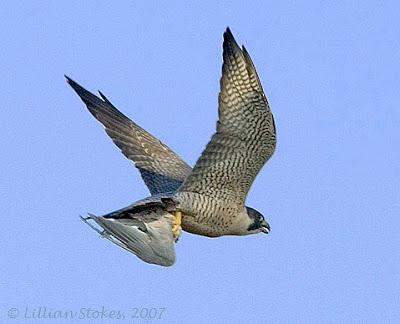 Falconiformes. sub Falconidae - sub fam Falconinae - gênero Falco - Página 2 P5