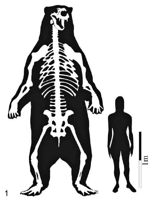 Fossile d'un ours géant Arctotherium_angustidens-Size