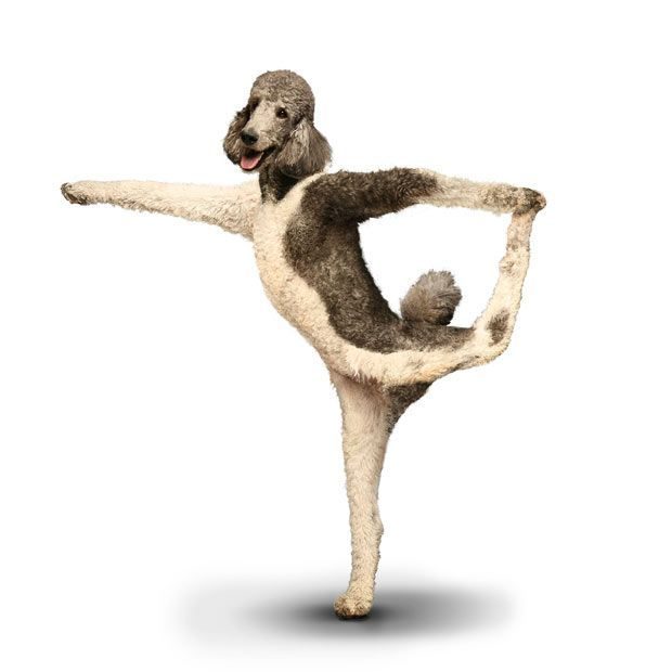 நாய்கள் யோகா செய்யும் வித்தியாசமான புகைப்படங்கள் Yogadogs18%2B(1)