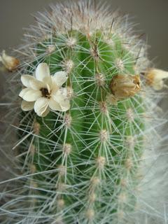 cactusii de toate felurile(ingrijirea si inmultirea lor) !!!!!! Cactus2