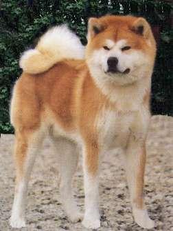 Is my dog part husky? Akita_inu